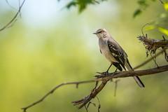 Mockingbird on Green (PhillymanPete) Tags: bird nature burlington us newjersey spring nikon branch unitedstates wildlife perch northernmockingbird palmyra mockingbird songbird palmyracovenaturepark d800e