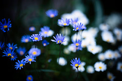 A Few Small Good Things (moaan) Tags: flower japan spring flora dof bokeh gardening flowerbed kobe jp utata flowering hyogo 2016 otus1455 zeissotus1455ze canoneos5dsr