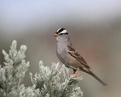 White-crowned sparrow, Zonotrichia leucophrys (jlcummins - Washington State) Tags: nature canon gold 1 wildlife pot sparrow washingtonstate kittitascounty natures whitecrownedsparrow specanimalphotooftheday tamronsp150600mmf563divcusd