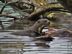 The Giant River Otter 2 (Henry Zou) Tags: park lake peru river giant mammal photography amazon rainforest wildlife conservation unesco national otter endangered manu otters amazonian biodiversity cocha brasiliensis pteronura cashu