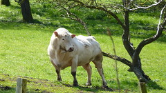 "Bulle ""Fiete"" / Bull (susanitakiel) Tags: kuh cow wiese bull bulle"
