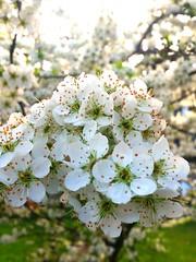 #plumtree #flowers (sarbludu) Tags: flowers plumtree