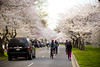 2016 03 26 - 1048 - DC - Cherry Blossoms (thisisbossi) Tags: flowers trees usa streets southwest bicycling washingtondc dc unitedstates pedestrians sakura sw cherryblossoms roads bicyclists floweringtrees hainspoint sharedspace