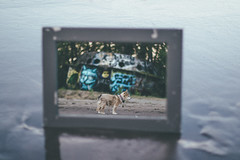 Sage and Aliens (Jake Arciniega) Tags: chihuahua reflection abandoned oregon portland mirror 50mm14 sauvieisland lightroom pomchi hihuahua canon7dmarkii vscofilm vscocam sauvieislandufo