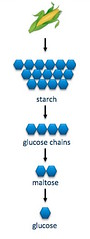 corn to starch to glucose (nutritionaldoublethink) Tags: starch glucose maltose corn digestion