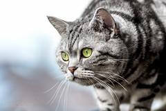 Rudolfo (Blochmntig) Tags: cats eye cat tabby katze kater britishshorthair cateye catposing yelloweye catportrait silvertabby katzenaugen katzenportrait britischkurzhaar catmoments catinpose