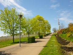 Promenadenweg Petrisberg (Jrg Paul Kaspari) Tags: tree spring baum trier frhling allee petrisberg 2016 acerplatanoides fahrradweg spitzahorn promenadenweg fusweg petrispark helmuternst