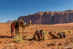 Camels in Wadi Rum, Jordan - Landscape photography (carmine.contrafatto) Tags: morning sky colours desert wadirum adventure camels giordania    canon600d