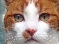 Sguardo felino (manuelerossi14) Tags: occhi sguardo felino gatto ritratto animali volto