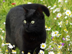 Black magic cat (maria xenou~photodromos~) Tags: life nature colors smart blackcat outside mond spring moments natur softness happiness luna orphan luck wildflowers lovely powerful soulmate symbolism frhling freude klug tenderly animallife waise glck schnell associations happylife momente naturelly   wildeblumen