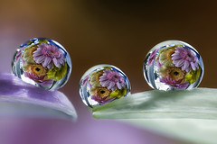 three refraction drops (ASPphotographic) Tags: flowers reflection water droplets drops focus bravo refraction daisy waterdrops gerber
