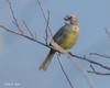 Zapata Sparrow, Torreornis Inexpectata (PEHart) Tags: cuba cubanendemic endemic torreornis inexpectata zapata swamp