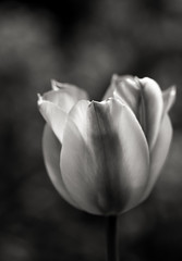 Tulip Glamour (AnyMotion) Tags: flowers blackandwhite bw plants primavera nature floral garden spring blossom bokeh frankfurt natur pflanzen blumen tulip sw blte garten printemps tulipa frhling tulpe 6d 2016 anymotion canoneos6d