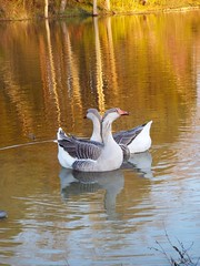 Greylag Geese at Sunset (EX22218) Tags: blue trees sunset two green nature water beautiful gold geese flickr purple metro kentucky wildlife parks sunsets natura mostinteresting louisville waterfowl waterbirds longrun greyling cmwdorange pinnaclephotography