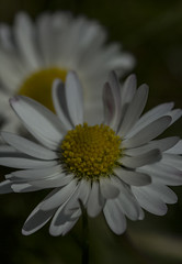 Daisies - April 2016 (GOR44Photographic@Gmail.com) Tags: wild white flower macro yellow canon petals 100mm daisy 100mmf28 canon100mm gor44
