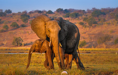 Elephant Mother and Child (Poulomee Basu) Tags: travel wild elephant nature beauty kenya wildlife conservation calm adventure safari botswana chobe motherandchild africanelephant wildlifephotographer herbivore naturephotography southernafrica africansafari animalportraits chobenationalpark wildlifephotography boatsafari africanportraits sunsetpics bestintravel sunsetmadness