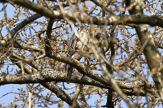 Sparrowhawk ♂ Male
