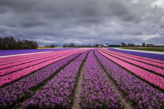 (rlinckens) Tags: pink flowers light sky flower holland color nature netherlands clouds landscape outdoors spring purple bluebell kinderdijk hyacinth zuidholland hyacint lisse dutche
