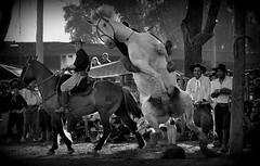O golpe (Eduardo Amorim) Tags: brazil horses horse southamerica brasil criollo caballo cheval caballos cavalos pferde cavalli cavallo cavalo gauchos pferd riograndedosul pampa hest hevonen campanha brsil chevaux gaucho  amricadosul fronteira hst jaguaro gacho  amriquedusud  gachos  sudamrica suramrica amricadelsur  sdamerika palanque crioulo caballoscriollos criollos jineteada   americadelsud gineteada  crioulos cavalocrioulo americameridionale caballocriollo eduardoamorim cavaloscrioulos