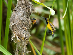 20160401-EM1X5032 (shutterblades) Tags: bird feeding nesting nests sunbirds gardensbythebay olympusem1 olympusmzuiko300mmf4pro