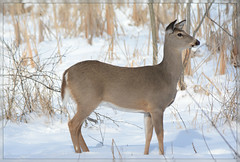 <> Doe In Snow - II. <> (Wolverine09J ~ 1 Million + Views) Tags: snow minnesota doe naturepark whitetaildeer winterwildlife beautifulcapture naturesgallery niceasitgets~level1 niceasitgets~level2 niceasitgets~level3 febwinternaturefotos