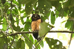 speckled owl (caro_sternberg) Tags: bird outdoors la costarica owl fortuna arenal
