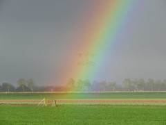 Rainbow above a small flower field (Elisa1880) Tags: flower holland netherlands field regenboog rainbow north nederland veld noordholland bollenveld barsingerhorn