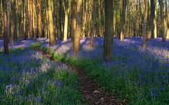 Bluebells (jactoll) Tags: flowers blue light bluebells landscape spring sony warwickshire ziess woottonwawen a6000 jactoll 1670mmf4 austywood