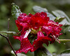Rain on the rhodies_1220 (DCWright-Whidbey) Tags: nature spring rhododendron rhodies raindropsonflowers springbloom flowersintherain rhodieblossom rhododendronblossoms canoninnature