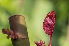 R o s e n t r i e b (Wilma und Andi) Tags: macro rose natur pflanze blumen rosenblatt garten nahaufnahme frhling trieb wachstum jungesblatt