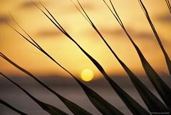 Sliced.... (Joe Hengel) Tags: ocean california ca sunset orange sun tree silhouette yellow clouds darkness outdoor horizon silhouettes palm palmtree orangecounty oc danapoint fronds theoc palmfronds capobeach capistranobeach cloudsstormssunsetssunrises cloudsorangecounty