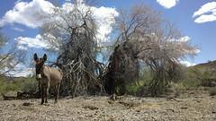 Burro and Ironwood tree (Ms. Jen) Tags: california desert donkey burro coloradoriver crossroads ironwoodtree earp floweringtree californiaside photobyjeniferhanen nokia808 nokia808pureview
