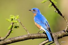 Eastern Bluebird  (D500 image) (jt893x) Tags: male bird nikon sigma bluebird thrush d500 easternbluebird sialiasialis nikond500 150600mm sigma150600mmf563dgoshsms