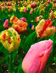 Que de belles couleurs (regardici1) Tags: fleur amsterdam couleurs tulipe