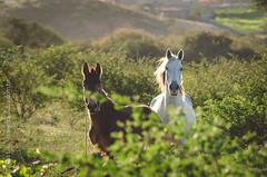 _DSC8678 (Izaias Lus) Tags: brasil caballos photography photographie cavalos equestrian equine nordeste chevaux equino haras equestre garanhunspe