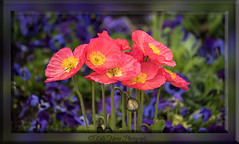 """""""Flowers always make people better, happier, and more helpful; they are sunshine, food and medicine to the mind."""" - Luther Burbank, Fruit and Flowers (kellykhorne) Tags: flowers garden poppies thanksgivingpoint"""