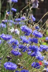Cornflowers (Richimal) Tags: flowers plants gardens garden hamptoncourt hamptoncourtpalace cornflowers