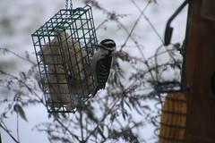 Hairy Woodpecker (Saline, Michigan) - January 17 & 18, 2016 (cseeman) Tags: winter birds backyard woodpecker michigan feeder saline suet hairywoodpecker suetfeeder hairy01182016