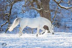 Said_20164598 (OliverSeitz) Tags: said pferd pamir schimmel hengst arabianhorses sadana i vollblutaraber hauptundlandgesttmarbach arabischepferde oliverseitz oliseitzde