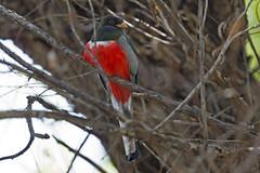 Elegant Trogon (Trogon elegans) (S Whitebread) Tags: arizona birds eleganttrogon trogonelegans