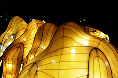 Camel Lanterns (pokoroto) Tags: autumn canada calgary night zoo october camel alberta lanterns 10 2015     kannazuki   themonthwhentherearenogods 27