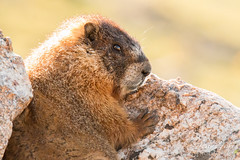 Marmot in the sun. Rocky Mountain National Park.