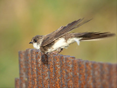Sand Martin (Peanut1371) Tags: brown white bird martin sandmartin nationalgeographicwildlife