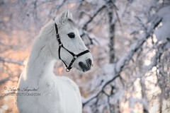 Prince Charming (Hestefotograf.com) Tags: winter horses horse snow love oslo norway caballo bokeh pony camouflage cavalos ponies forever pferde dappled cavalo pferd whitehorse equine equus paard horseandgirl equinephotography equinephotographer hestefotograf