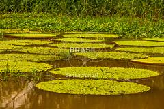 NO_Amazonas0425 (Visit Brasil) Tags: horizontal brasil natureza vitriargia manaus norte amazonas detalhe ecoturismo externa semgente diurna riosolimes