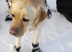 Kirstin Jennanna on hienot tossut, silläpä ei siis palele tassut! (smerikal) Tags: winter dog shoes guide talvi tossut opaskoira lumikurssi