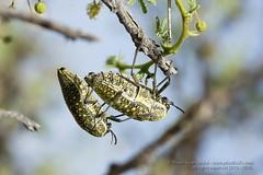 319A3809 Mating Sulphurous jewel beetle, Julodis euphratica, while hanging on to Acacia tree, UAE (Priscilla van Andel (Uploading database)) Tags: uae jewelbeetle julodiseuphratica buprestidaefamily sulphurousjewelbeetle matingjewelbeetles coleopteraoftheuae