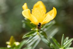 Abeille et fleur jaune en fort tropicale (zambaville) Tags: macro fleur jaune canon eos is usm fort abeille proxy flore tropicale f28l ef100mm lesquelin 5dsr