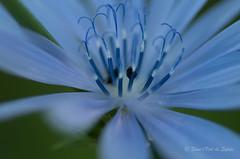 La Petite Bestiole qui me Tournait le Dos (Sous l'Oeil de Sylvie) Tags: blue summer canada flower macro fleur pentax bokeh august qubec t insecte bleue pdc aot bestiole k50 fleursauvage macrophotographie profondeurdechamps sousloeildesylvie focusslectif