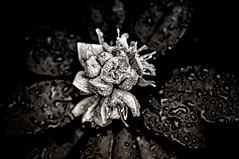 Infrared-styled blossom (lichtspur) Tags: bw white abstract black flower art nature water fauna 50mm glow different dof shine view blossom f14 natur structures style shades depthoffield bee bumblebee infrared sw blume fiore blte weiss bianco nero schwarz biene abstrakt hummel sense waterbubbles stil infrarot strukturen unschrfe